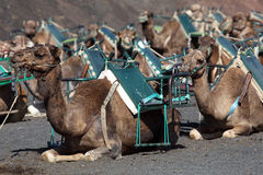 Camels waiting for tourists, Lanzarote Royalty Free Stock Photos