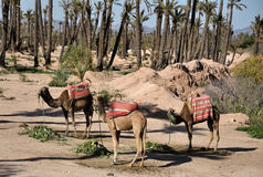 Camels waiting for tourists in Marrakech Stock Image