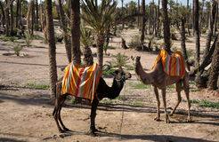 Camels waiting for tourists in Marrakech Stock Photography