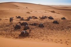 Camels waiting for tourists in the Moroccan desert of Sahara Stock Photos
