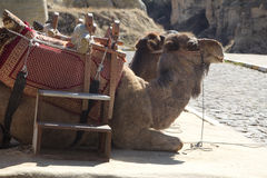 Camels waiting for tourists. For a walk Royalty Free Stock Photography