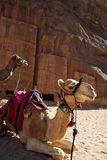 Camels waiting for a transport Royalty Free Stock Photos