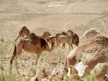 Camels on a walk in the desert royalty free stock photo