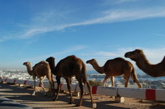 Camels walking royalty free stock photo