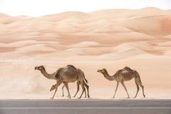 Camels walking along an asphalt road. royalty free stock photos