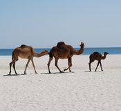 Camels walking on the beach Royalty Free Stock Photography