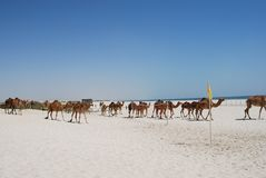 Camels walking on the beach Royalty Free Stock Image