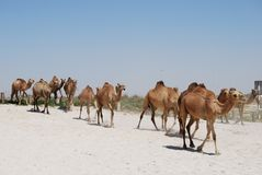 Camels walking on the beach Royalty Free Stock Photos