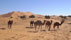 Camels are walking through a desert with high sand dunes on background in Erg Chebbi desert in Morocco, Africa.
