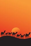Camels walking in desert sunset Royalty Free Stock Photo