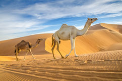 Camels walking through a desert. Taken in the Liwa Oasis, Abu Dhabi area, United Arab Emirates Royalty Free Stock Photography