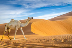 Camels walking through a desert. Taken in the Liwa Oasis, Abu Dhabi area, United Arab Emirates Stock Photo