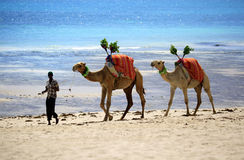 Camels walking the shore of the ocean Royalty Free Stock Image