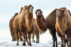 Camels walks in the snow royalty free stock photography
