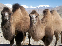 Camels watching. Couple of camels staring at me Royalty Free Stock Photography