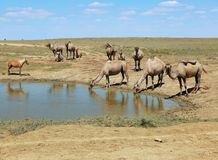 Camels at water. Camels stand and drink from puddles in the desert royalty free stock photos