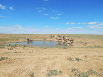 Camels at water. Royalty Free Stock Photos