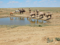 Camels at water. Stock Photography