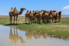 Camels at the watering in the Gobi Desert, Mongolia Royalty Free Stock Images