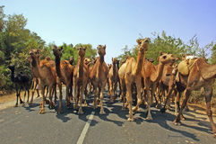 Camels on the way. Stock Photos
