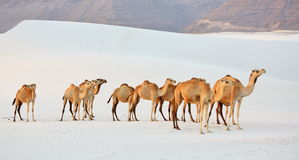 Camels in the white sand desert Royalty Free Stock Images