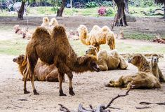 camels in the wild life zoo Royalty Free Stock Image
