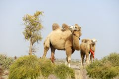 Camels in the wildness. In Xinjiang China Stock Photo