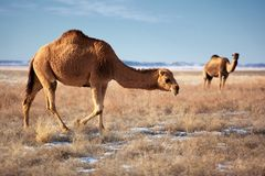Camels on winter desert Stock Images