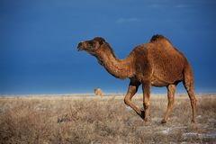Camels on winter desert Royalty Free Stock Photo