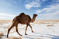 Camels on winter desert Stock Photos