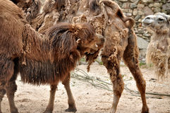 Camels with your teeth tear each other off wool. Animals photography. Camels with your teeth tear each other off wool Royalty Free Stock Image