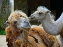 Camels In The Zoo. Portrait of two camels taken in captivity at the Budapest Zoo Stock Photo