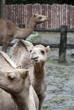 Camels at the Zoo Stock Image
