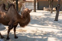 Camels in zoo in day time. Camels in a zoo in day time royalty free stock image