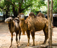 Camels at zoo Stock Images