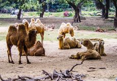 camels in the zoo Stock Images