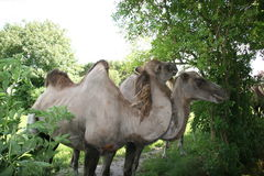 Camels in the zoo royalty free stock photo