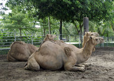 Camels in the zoo Royalty Free Stock Images
