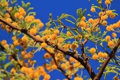 Camelthorn - fiori africani della sorgente Immagini Stock Libere da Diritti
