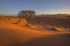 Camelthorn tr?d och modeller i sanden p? dyn arkivbilder