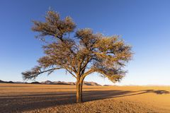 Camelthorn tree in early morning light stock photo