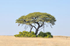 Camelthorn tree landscape Royalty Free Stock Images
