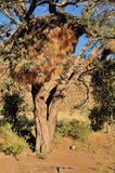 Camelthorn Tree with community nest Royalty Free Stock Photo