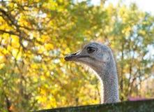 Camelus africano do Struthio da avestruz Imagens de Stock