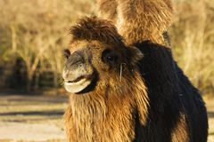 Camelus bactrianus Stock Images
