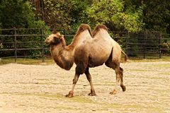 Camelus bactrianus Royalty Free Stock Photo