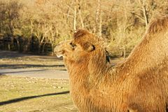 Camelus bactrianus Stock Photo
