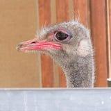 Camelus Chipre do sul da avestruz/struthio Fotos de Stock Royalty Free