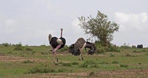 Camelus d'autruche, de Struthio, mâle et femelle, cour montrant avant l'accouplement, masai Mara Park au Kenya, clips vidéos