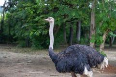 Camelus d'autruche-Struthio de la Caractéristique-Afrique Photo libre de droits